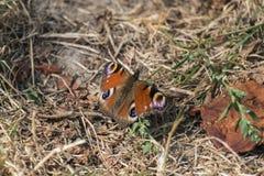 Ojo del pavo real de la mariposa y x28; Io& x29 de Aglais; Imagenes de archivo