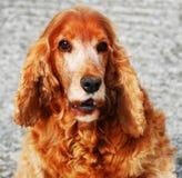 Ojo del perro. Foto de archivo