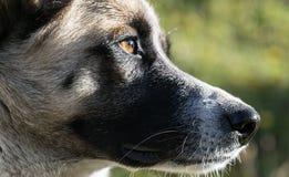 Ojo del perro Foto de archivo libre de regalías