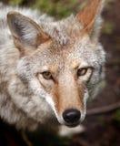 Ojo del retrato del coyote Imágenes de archivo libres de regalías