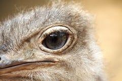 Ojo del ` s de la avestruz, primer foto de archivo libre de regalías