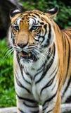 Ojo del tigre Fotos de archivo