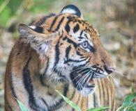 Ojo del tigre Imagenes de archivo