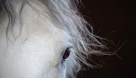 Ojo hermoso del caballo blanco Fotografía de archivo libre de regalías