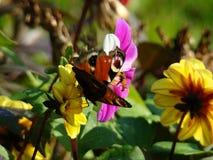 Ojo hermoso del pavo real de la mariposa Imágenes de archivo libres de regalías