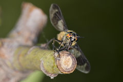 Ojo multicolor de la abeja de la avispa Fotografía de archivo libre de regalías