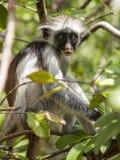 Ojo a observar con un mono de Colobus rojo de Zanzíbar Imagen de archivo