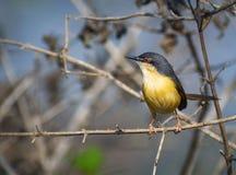 ojo rojo amarillo del pequeño primer del pájaro del prinia foto de archivo libre de regalías