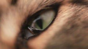 Ojo verde del gato de gato atigrado del negro de Maine Coon en macro 1920x1080 metrajes