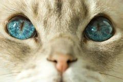 Gato con los ojos azules Imagen de archivo libre de regalías