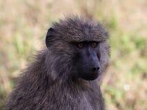 Ojos brillantes del babuino adulto en llano del ` s Serengeti de África Imagenes de archivo