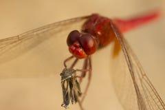 Ojos compuestos de la libélula roja Foto de archivo libre de regalías