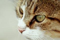 Ojos de gato Foto de archivo libre de regalías