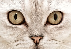 Ojos de gato Imagen de archivo