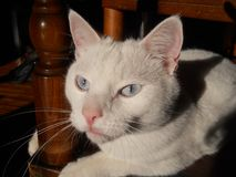 Ojos de gato azul Imagen de archivo libre de regalías