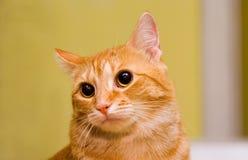 Ojos de gato brillantes como botones Fotografía de archivo