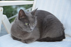 ojos de gato grises hermosos Fotos de archivo