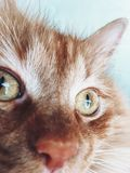 Ojos de gato rojos Fotos de archivo libres de regalías