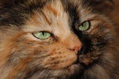 Ojos de gato verdes Fotografía de archivo libre de regalías