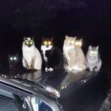 Ojos de gatos Fotos de archivo libres de regalías