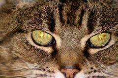 Ojos de gatos cruzados Fotografía de archivo