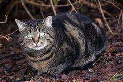 Ojos de gatos grandes Imagen de archivo libre de regalías