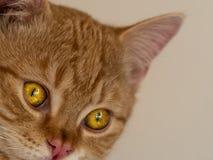 Ojos de gatos reflexivos agudos imagen de archivo