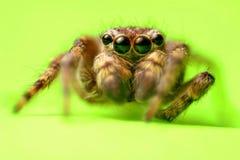 Ojos de la araña Fotografía de archivo