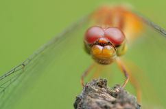 Ojos de la libélula Imagen de archivo