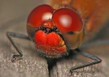 Ojos de la libélula fotografía de archivo libre de regalías