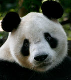 Ojos de la panda Fotografía de archivo