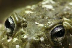 Ojos de la rana Foto de archivo libre de regalías