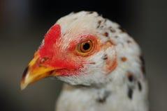 Ojos de los gallos de pelea Imágenes de archivo libres de regalías