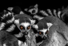 Ojos de Meerkats Imagen de archivo