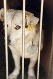 Ojos de mirada tristes del perrito lindo blanco que mira en la jaula del refugio, sa Foto de archivo