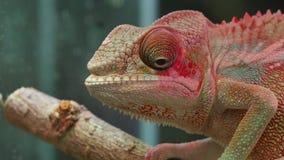 Ojos de mudanza del reptil del camaleón almacen de video