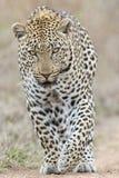 Ojos de perforación de un leopardo imagen de archivo libre de regalías