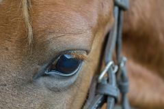 Ojos de un caballo peruano tomado cerca para arriba Fotos de archivo