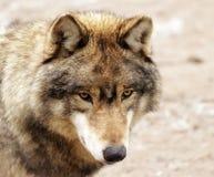 Ojos de un lobo fotos de archivo