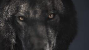 Ojos de un lobo negro detrás de barras almacen de metraje de vídeo