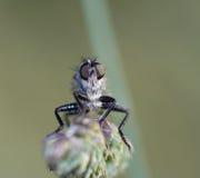 Ojos de una mosca del pirata Imagen de archivo