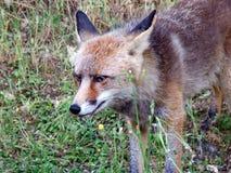Ojos del amarillo de un zorro hambriento Imágenes de archivo libres de regalías