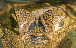 Ojos del caimán Imagen de archivo libre de regalías