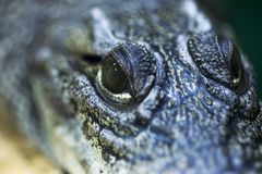 Ojos del cazador feroces y formidables de cocodrilos Cierre del ojo del cocodrilo para arriba fotos de archivo