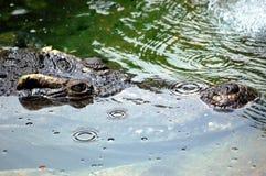 Ojos del cocodrilo Imagenes de archivo