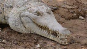 Ojos del cocodrilo y boca abierta metrajes