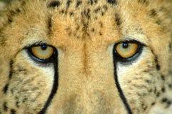 Ojos del guepardo Foto de archivo libre de regalías