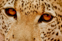 Ojos del leopardo Foto de archivo libre de regalías