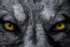 Ojos del lobo fotografía de archivo libre de regalías