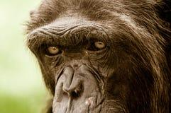 Ojos del mono fotografía de archivo